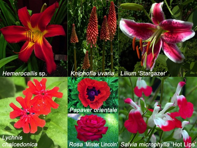 Red non-native flowers for Independence Day. Hemerocallis sp., Kniphofia uvaria, Lilium 'Stargazer', Lychnis chalcedonica, Papaver orientale, Rosa 'Mister Lincoln'. Photos © 2019 Mary Free and Elaine Mills (Lychnis chalcedonica)