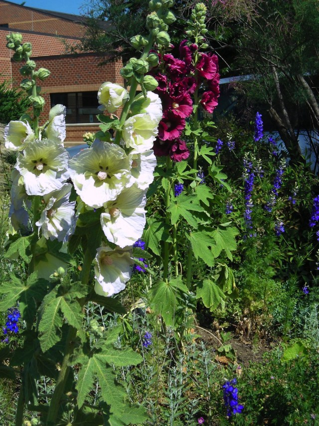 If you wish to celebrate Memorial Day with a patriotic garden, then towering spires of huge whitish and red-violet Alcea rosea (hollyhock) flowers provide a bold contrast to the shorter spikes of densely packed, blue Delphinium (larkspur) florets, blooming in the Waterwise Garden at Simpson Gardens four days after Memorial Day 2013. In addition to these perennials try the light blue to deep violet native Iris virginica and Iris versicolor (southern and northern blue flag)–not pictured. Photos © 2019 Christa Watters