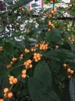 Ilex verticillata (Winterberry) 'Winter Gold' fruit. Photo by Elaine L. Mills, 2018-10-15, Glencarlyn Library Community Garden.