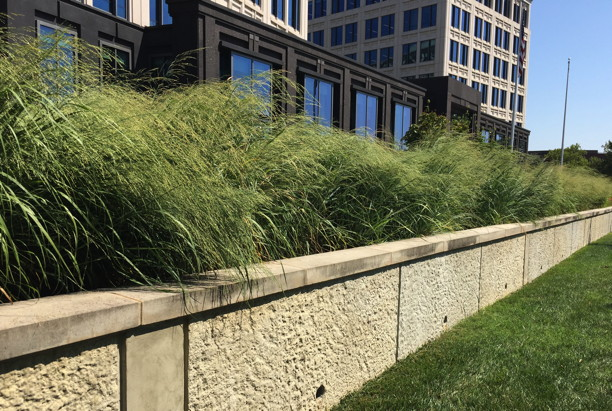 Panicum virgatum (Switch Grass) in landscape. Photo by Elaine L. Mills, 2017-08-01, Rockville, Maryland.