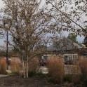 Panicum virgatum (Switch Grass) in November landscape. Photo by Elaine L. Mills, 2014-11-25, Penrose Square, Arlington, Virginia.