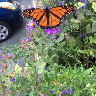 A male Monarch butterfly nectaring on a Symphyotrichum novae-angliae, New England aster, at the Glencarlyn Library Garden. Photo © Alyssa Ford Morel