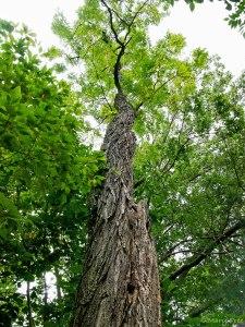 Robinia pseudoacacia tree in October. Photo © 2019 Mary Free