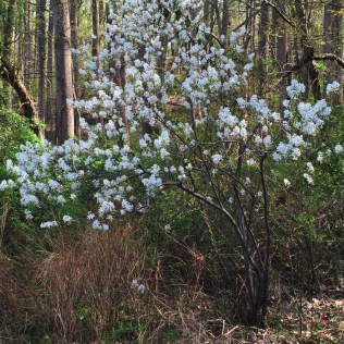 Amelanchier arborea is a small native understory tree that is appropriate for small-space gardens. Photo © Elaine Mills