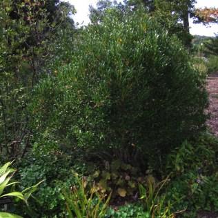 The smaller 'Shamrock' cultivar of Ilex glabra is a good evergreen shrub. Photo © Elaine Mills.