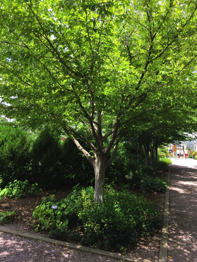 Carpinus caroliniana does well in urban sites. Amelanchier arborea is a small native understory tree that is appropriate for small-space gardens. Photo © Elaine Mills