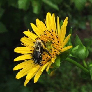 Pollen collects on the forked hairs of native bees as they move from flower to flower. Photo © Elaine Mills