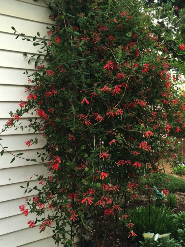 Using vines such as <em>Lonicera sempervirens </em>can save space in smaller gardens. Photo © Elaine Mills
