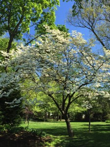 Cornus florida (Flowering Dogwood) in landscape in April. Photo by Elaine L. Mills, 2015-04-18, grounds of Thomas Jefferson Community Center, Arlington, Virginia.