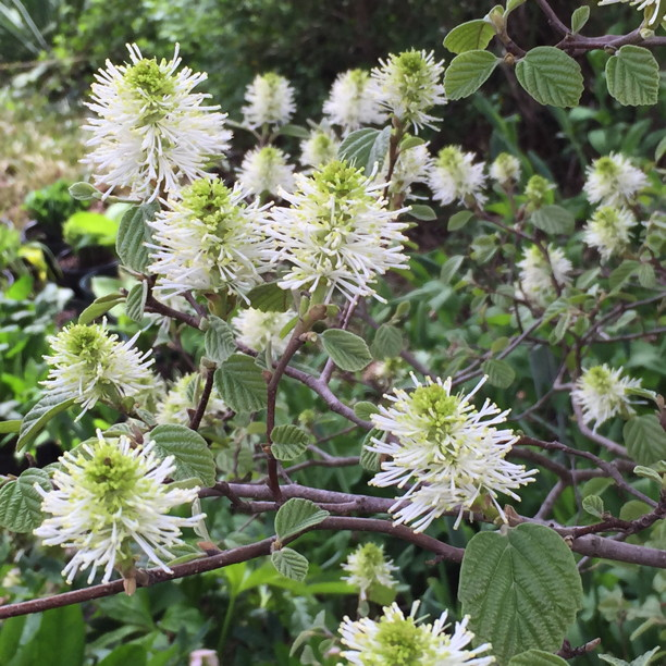 Fothergilla gardenii flowers in fuzzy white terminal clusters. Photo by Elaine L. Mills, 2015-04-20, Glencarlyn Library Community Garden
