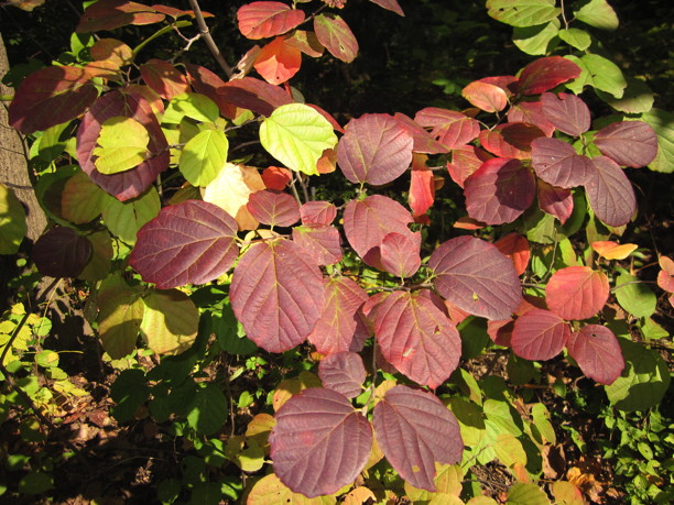 Fothergilla gardenii leaves. Photo by Elaine L. Mills, 2014-10-06, National Arboretum.