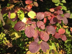 Fothergilla gardenii leaves. Photo by Elaine L. Mills, 2014-10-06, National Arboretum.