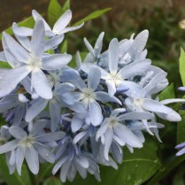 Amsonia tabernaemontana (Bluestar) flower detail in April. Photo by Elaine L. Mills, 2017-04-25, private garden, Arlington, Virginia.