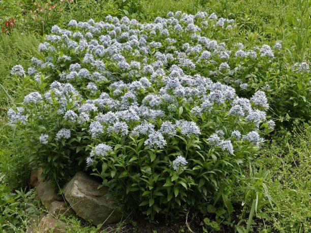 Amsonia tabernaemontana 'Montana' en masse. Photo © Mary Free, 2019-04-29, Green Spring Gardens, Alexandria, VA.