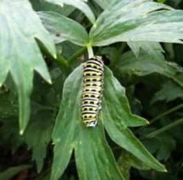 Baby butterfly - a Black Swallowtail caterpillar on a Levisticum officinale (lovage) plant in the Culinary Herb Garden.Photo © 2013 Alyssa Ford Morel
