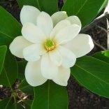 Magnolia virginiana flower. Photo by Christa Watters, 2012-06-14, Simpson Gardens, Alexandria, VA.