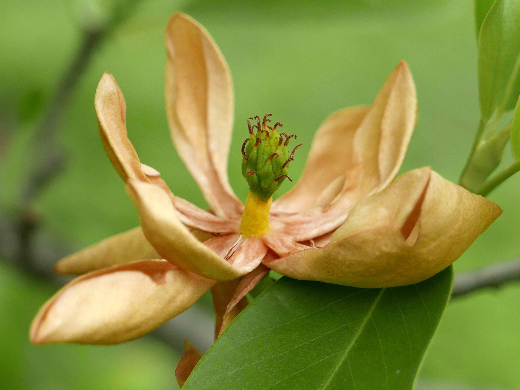 Magnolia virginiana spent flower and developing fruit. Photo © Mary Free, 2019-05-08, Simpson Gardens, Alexandria, VA.