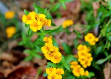 Tagetes lucida (Mexican tarragon or Texas tarragon) in the library herb garden Photo © 2012 Naila Rahman