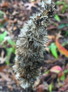 Detail of Liatris spicata, (Gayfeather, (Dense) Blazing Star) seed head in October. Photo by Elaine L. Mills, 2017-10-26, Glencarlyn Library Community Garden.