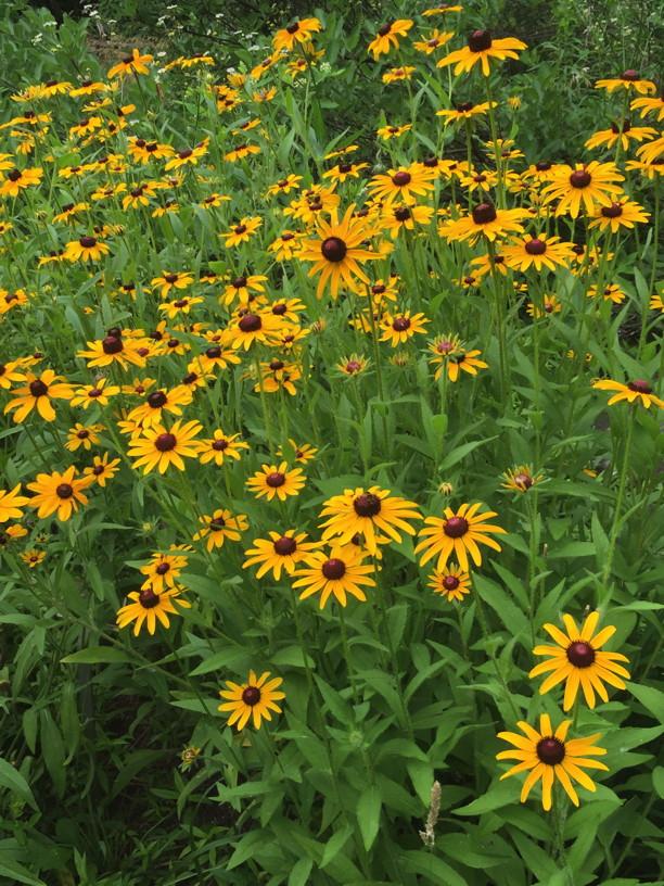 Mass of Rudbeckia hirta (Black-eyed Susan) flowers in June. Photo by Elaine L. Mills, 2015-06-17, National Arboretum.