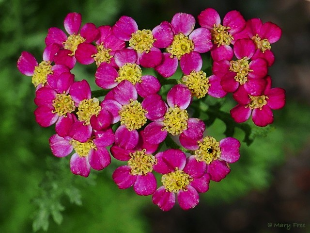 Introduced to America in colonial times, the white-flowered species Achillea millefolium (yarrow) has been mostly replaced today by the myriad colors of its cultivars, like the rose-colored one above. Photo © 2019 Mary Free.