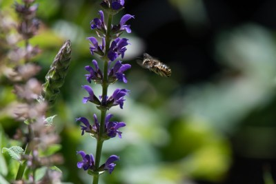Bee on salvia Photo © 2018 Ed Colonna