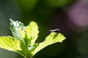 Flye on leaf in Fairlington Photo © 2018 Ed Colonna