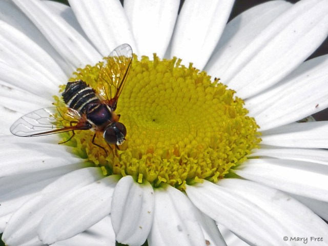 A Villa (bee fly) feeds on the floret nectar of a shasta daisy. Although at first glance it may resemble a bee, hence its common name, the bee fly has two wings (not four), short antennae, and large compound eyes. Photo © 2019 Mary Free.