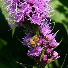 Apis mellifera (European honey bee) feeding on Liatris spicata flowers. Photo © Mary Free, 2014-07-17, Sunny Garden, Bon Air Park.