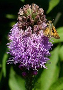 Skipper butterfly feeding on Liatris spicata flowers. Photo © Mary Free, 2014-07-17, Sunny Garden, Bon Air Park.