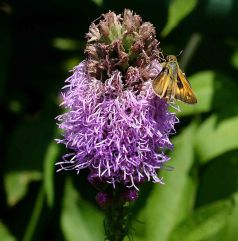 Skipper butterfly feeding on Liatris spicata flowers. Photo © Mary Free, 2014-07-17, Sunny Garden, Bon Air Park.