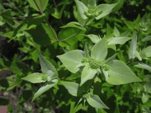Pycnanthemum muticum Photo © Anne Galer