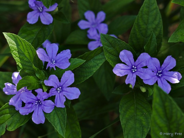 Native Ruellia caroliniensis (Carolina wild petunia), which can be found blooming in the demonstration Quarry Shade Garden, reseeds readily, so monitor its seed capsules because when mature they dehisce, burst open, spreading seeds where you may not want them. Photo © 2019 Mary Free.