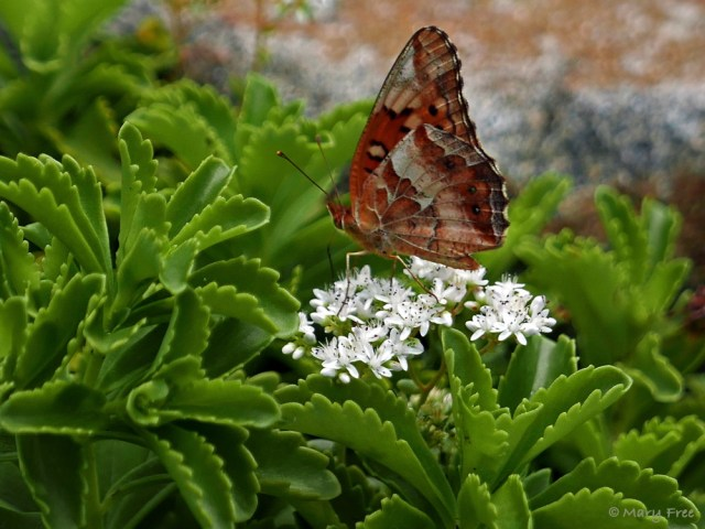 The flowers of Sedum album (white stonecrop), a native of Europe, western Asia, and north Africa, attract a Euptoieta claudia (variegated fritillary). Another attraction may be the foliage, as Sedums are also a larval host for this butterfly. (The pictured foliage belongs to another Sedum species planted in the rock gardens of Bon Air Memorial Rose Garden.) Photo © 2019 Mary Free.