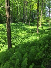 The March Bank is covered in carpets of ferns after the ephemerals have faded.