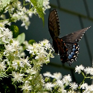 Clematis virginiana, with female eastern tiger swallowtail butterfly. Photo © 2018 Mary Free