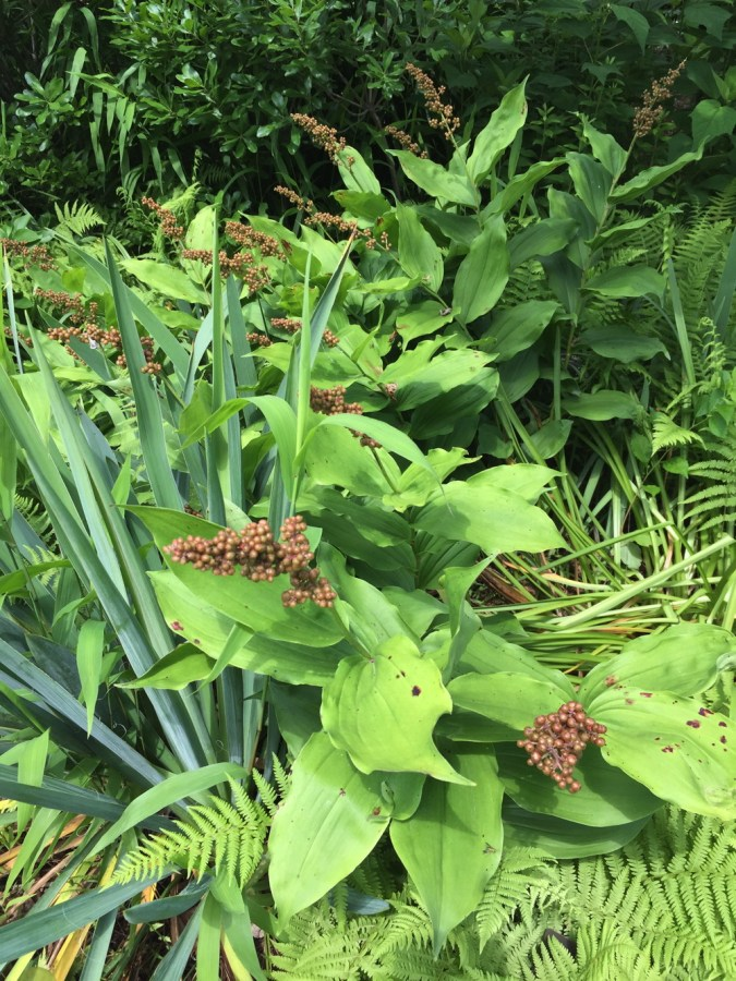 The fruit of false Solomon's seal is eye-catching in June and will turn ruby red later in the summer