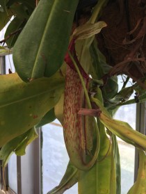 Monkeys in Asia occasionally drink the liquid from tropical pitcher plants of the genus Nepenthes.