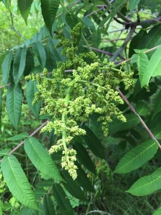 The flowers of staghorn sumac will develop into ornamental fruiting clusters of bright red, hairy drupes in the fall.