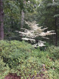 Cornus kousa 'Snowboy,' a specimen tree in the Azalea Garden.