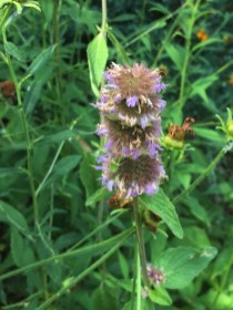 Downy wood mint attracts native bees and other pollinators but is resistant to deer and rabbits.