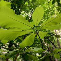 The deciduous leaves of bigleaf magnolia are up to 1 foot wide and three feet long.