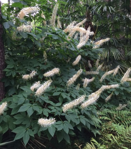 Bottlebrush buckeye has spectacular blooms in mid-summer.
