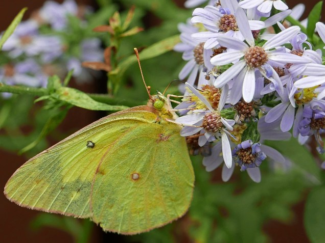 Female orange sulfur butterfly feeding on Symphyotrichum cordifolium flowers in October. Photo © Mary Free, 2019-10-07, Arlington, Virginia.