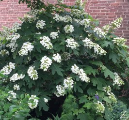 Hydrangea quercifolia as an accent shrub in spring. Photo by Elaine L. Mills, 2017-05-29, Glencarlyn Library Community Garden.