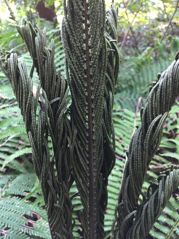 Fertile Matteuccia struthiopteris (Ostrich Fern) fronds in September. Photo by Elaine L. Mills, 2018-09-29, National Arboretum.