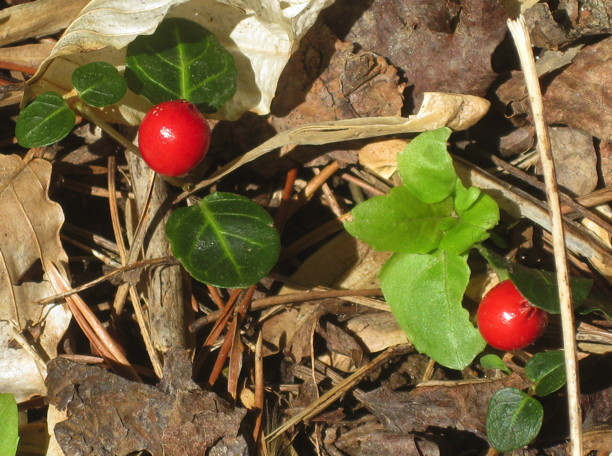 Mitchella repens (Partridge-berry) fruit in April. Photo by Elaine L. Mills, 2010-04-16, Columbia, Maryland.