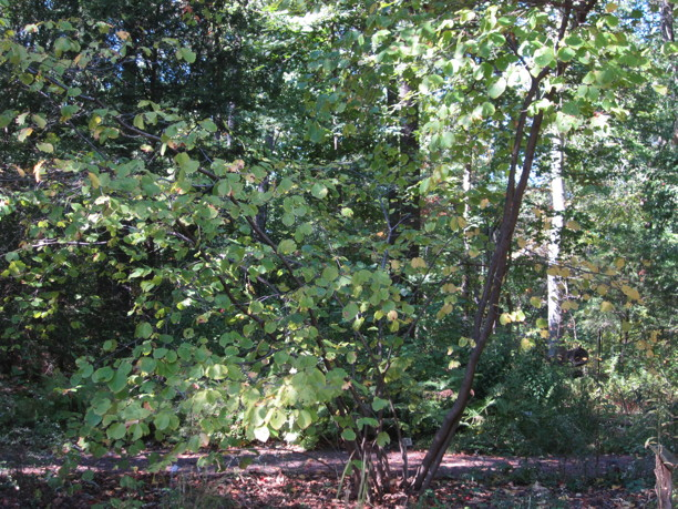 Hamamelis virginiana (Witch Hazel) in October. Photo by Elaine L. Mills, 2014-10-06, National Arboretum.