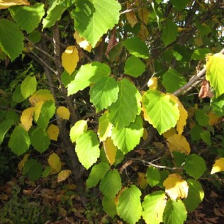 Hamamelis virginiana (Witch Hazel) leaves in September. Photo by Elaine L. Mills, 2015-09-28, National Garden, U. S. Botanic Garden.