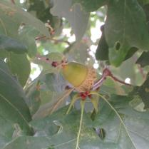 Quercus Alba acorn and leaves in October. Photo © 2015 Elaine L. Mills